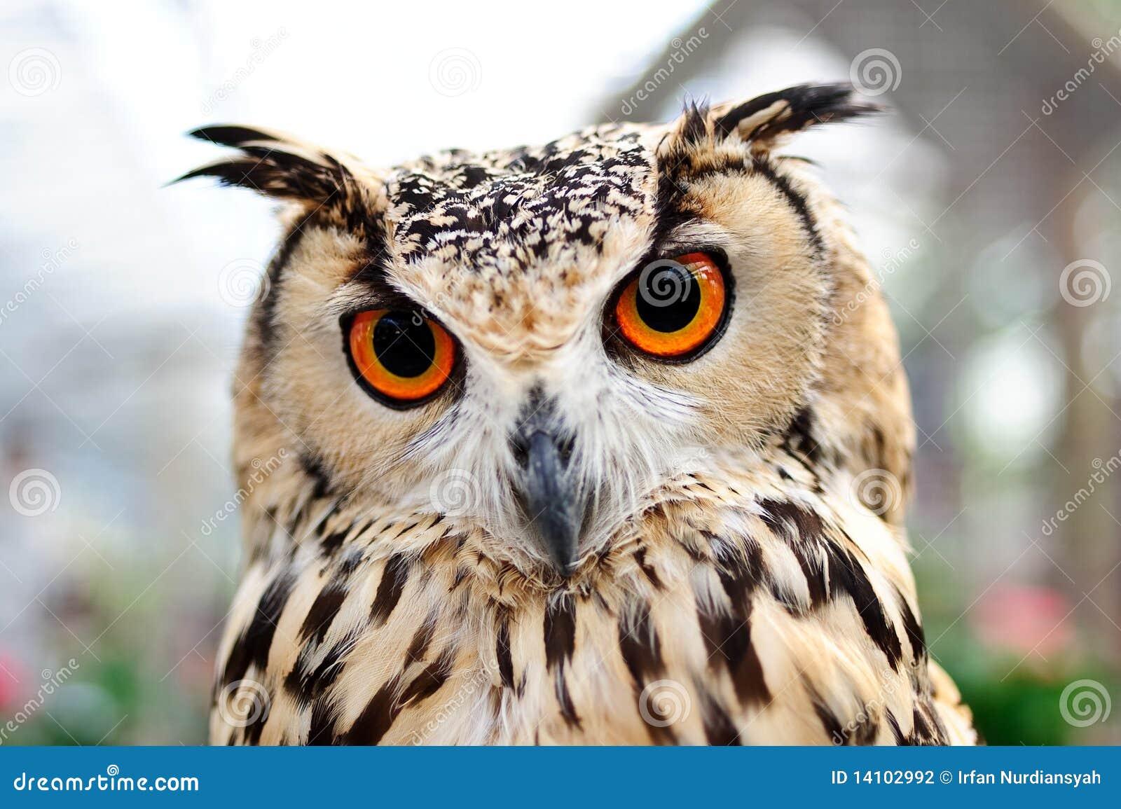 orange eyes owl stock photo image of forest strong