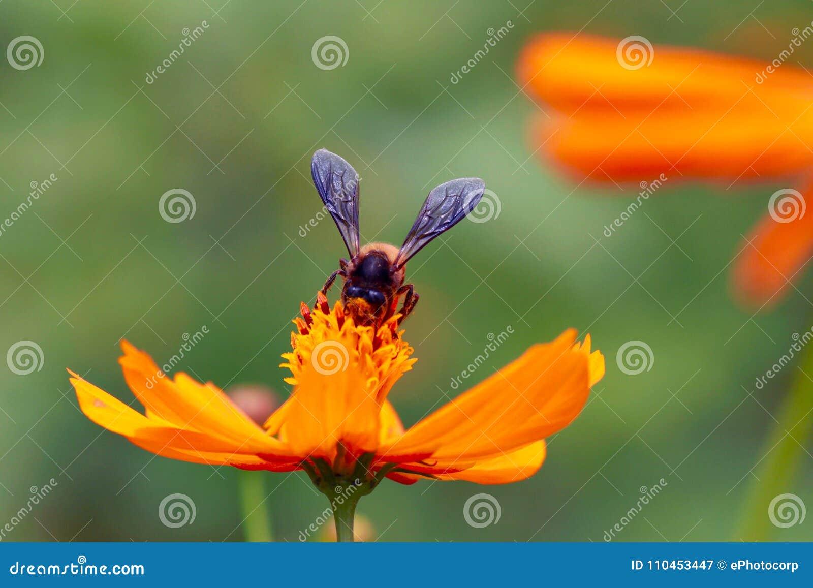 Orange för bicloseblomma som skjutas upp