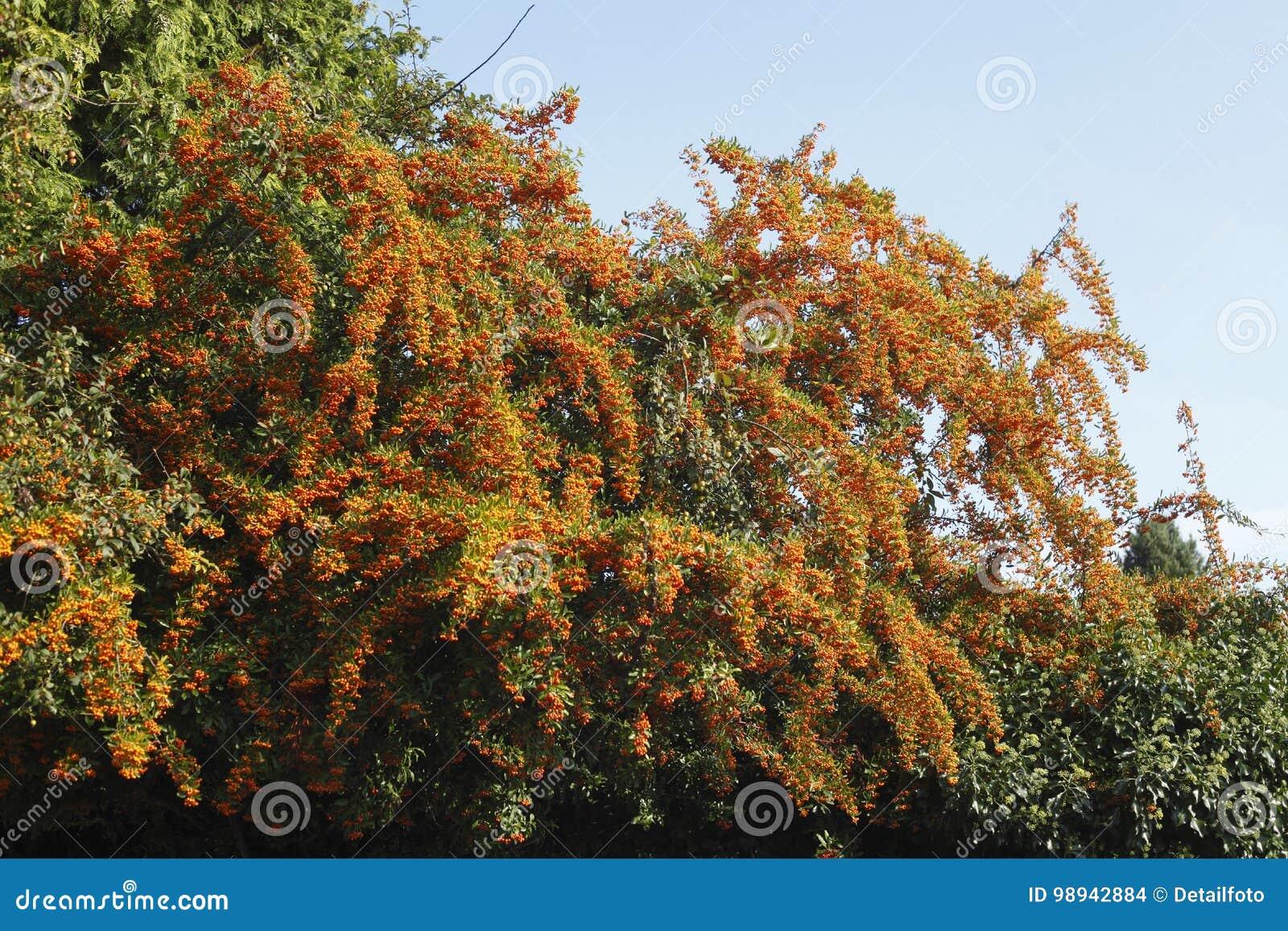 Orange Firethorn