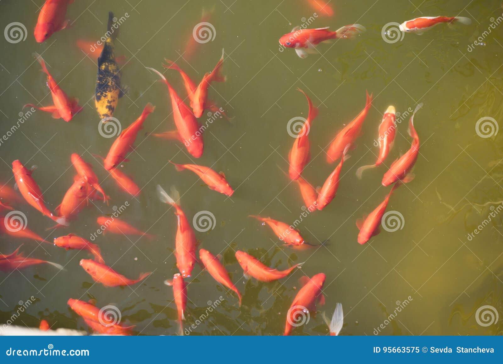 Orange fische in einem see gemeiner goldfisch in einem for Fische in teich