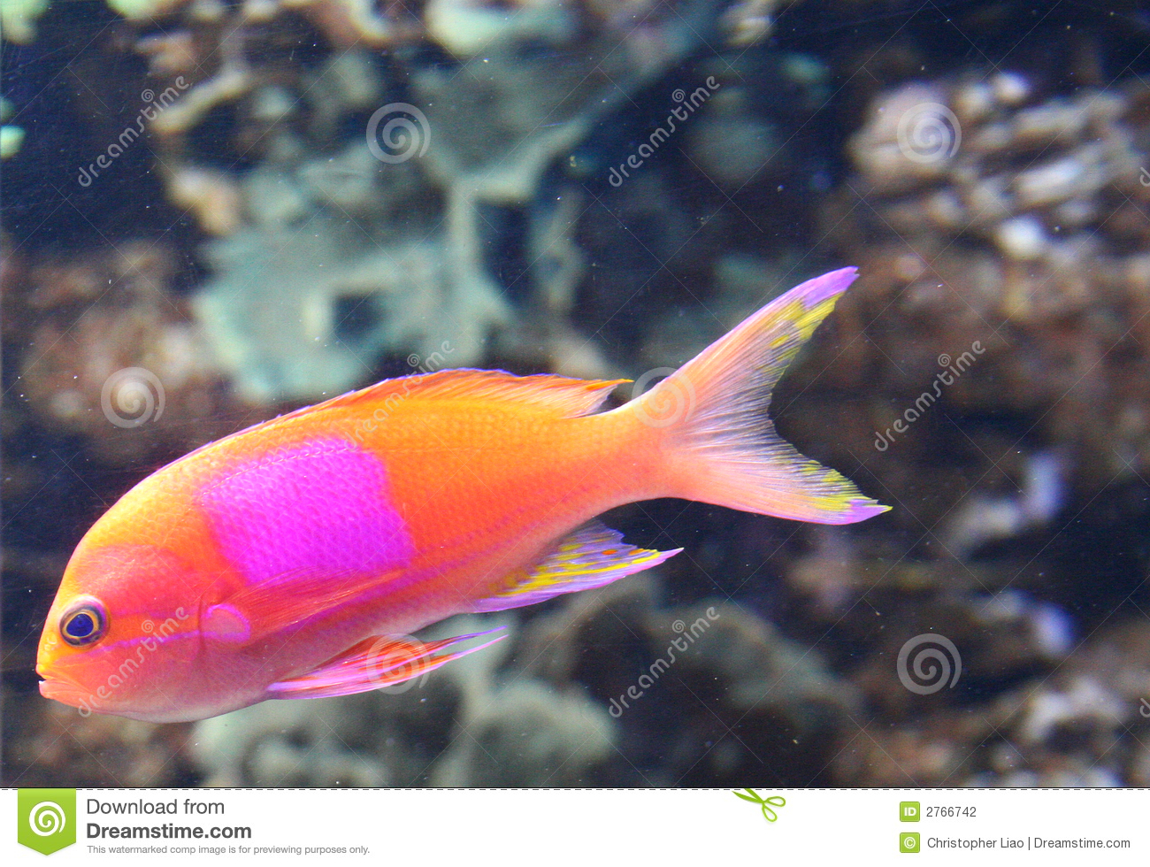 Orange fish with pink spot stock photo image of fish for Image of fish