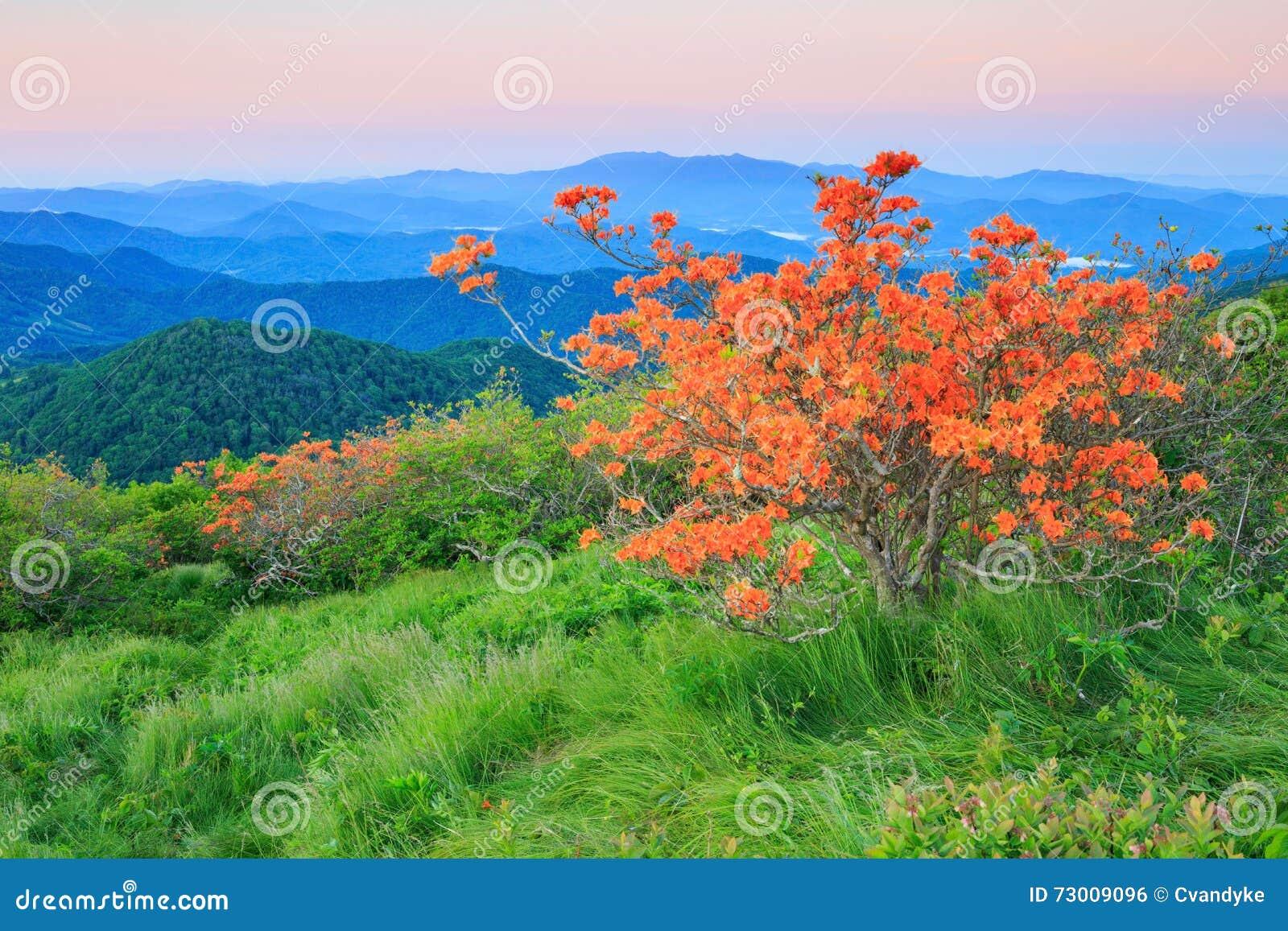 Orange Flame Azalea, Rhododendron Calendulaceum