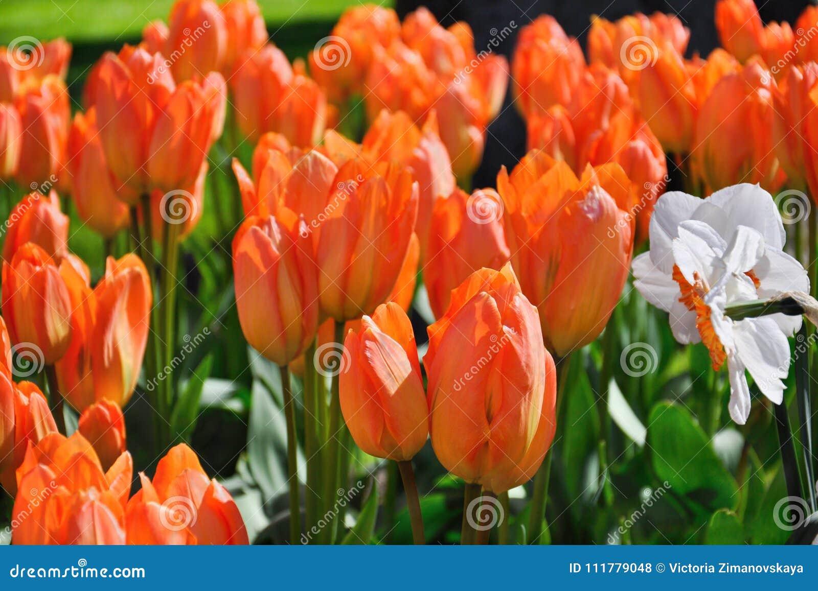 Orange Flame Spring Tulips Keukenhoff Netherlands