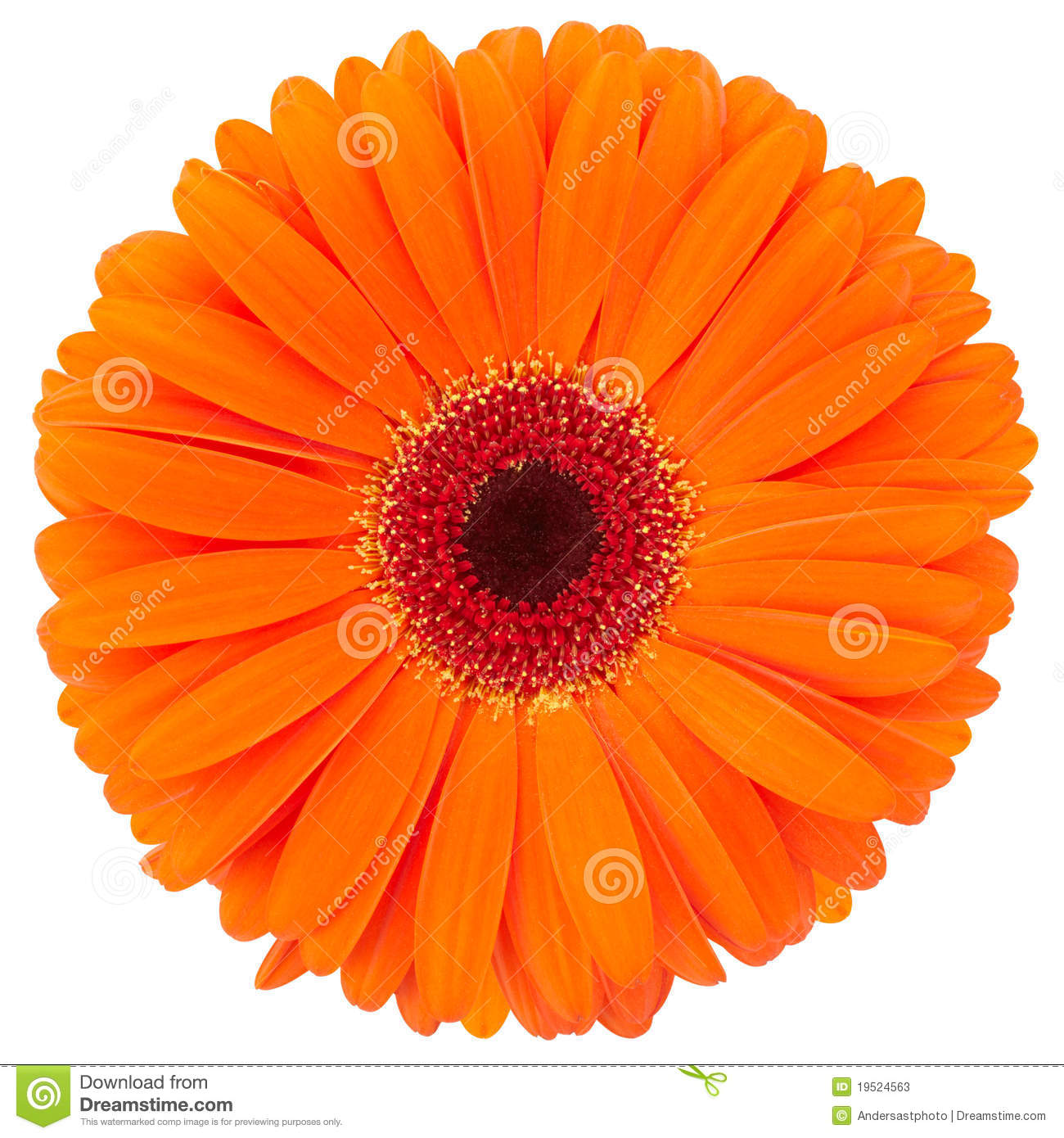 Orange gerber daisy flower isolated on white, clipping path included.