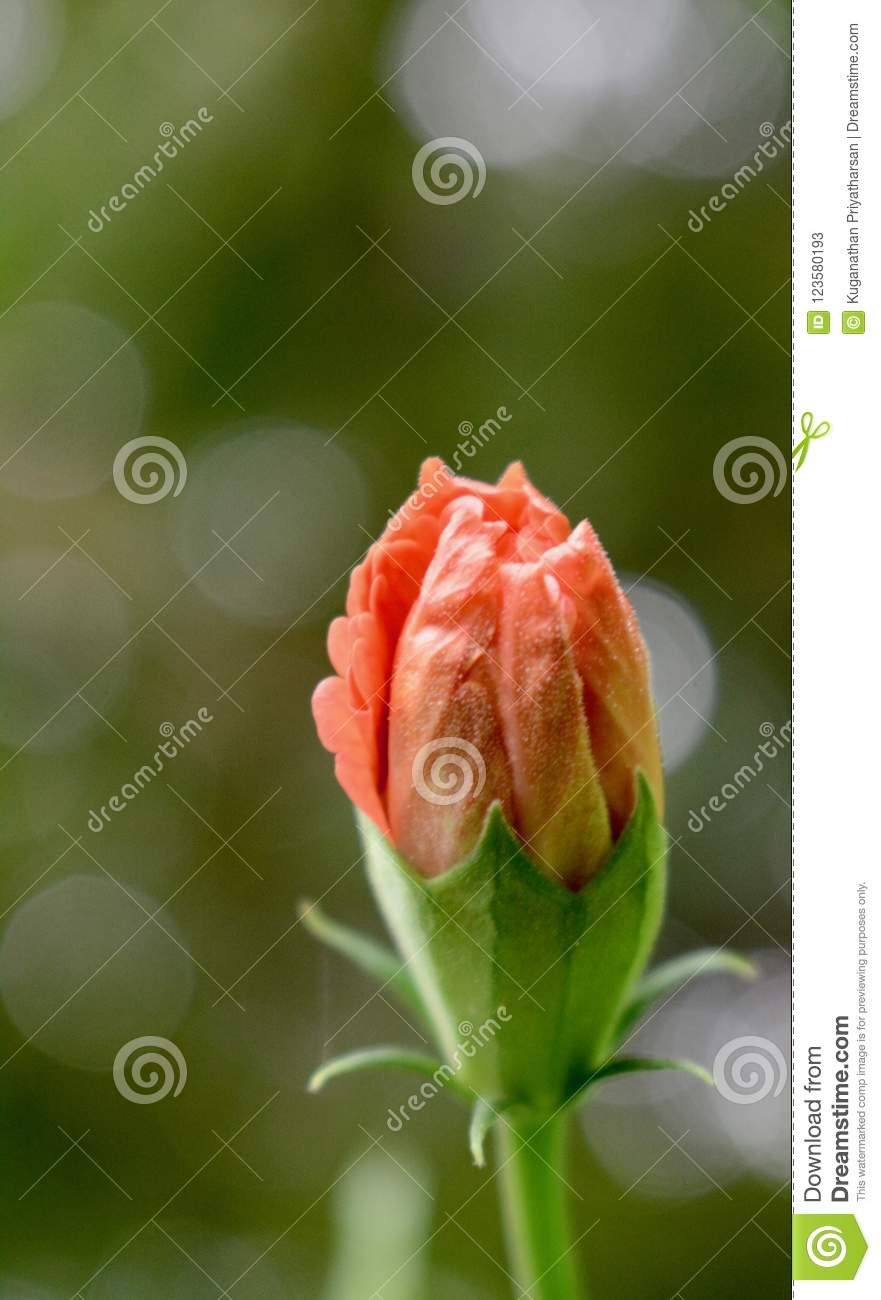 Orange Flower Bud Stock Image Image Of Romantic Color 123580193