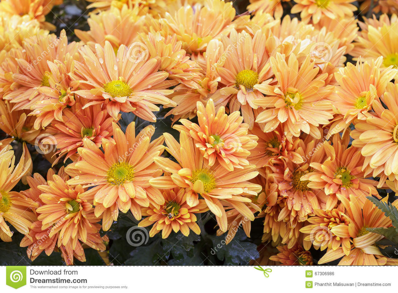 Orange flower with long thin petals a yellow center stock photo download orange flower with long thin petals a yellow center stock photo image of mightylinksfo