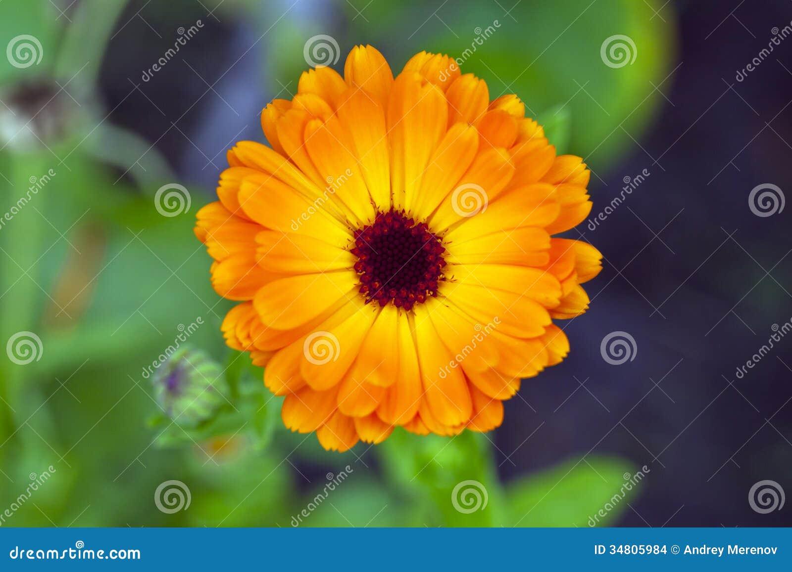 Orange Flower Stock Photo Image Of Blue Garden Green 34805984