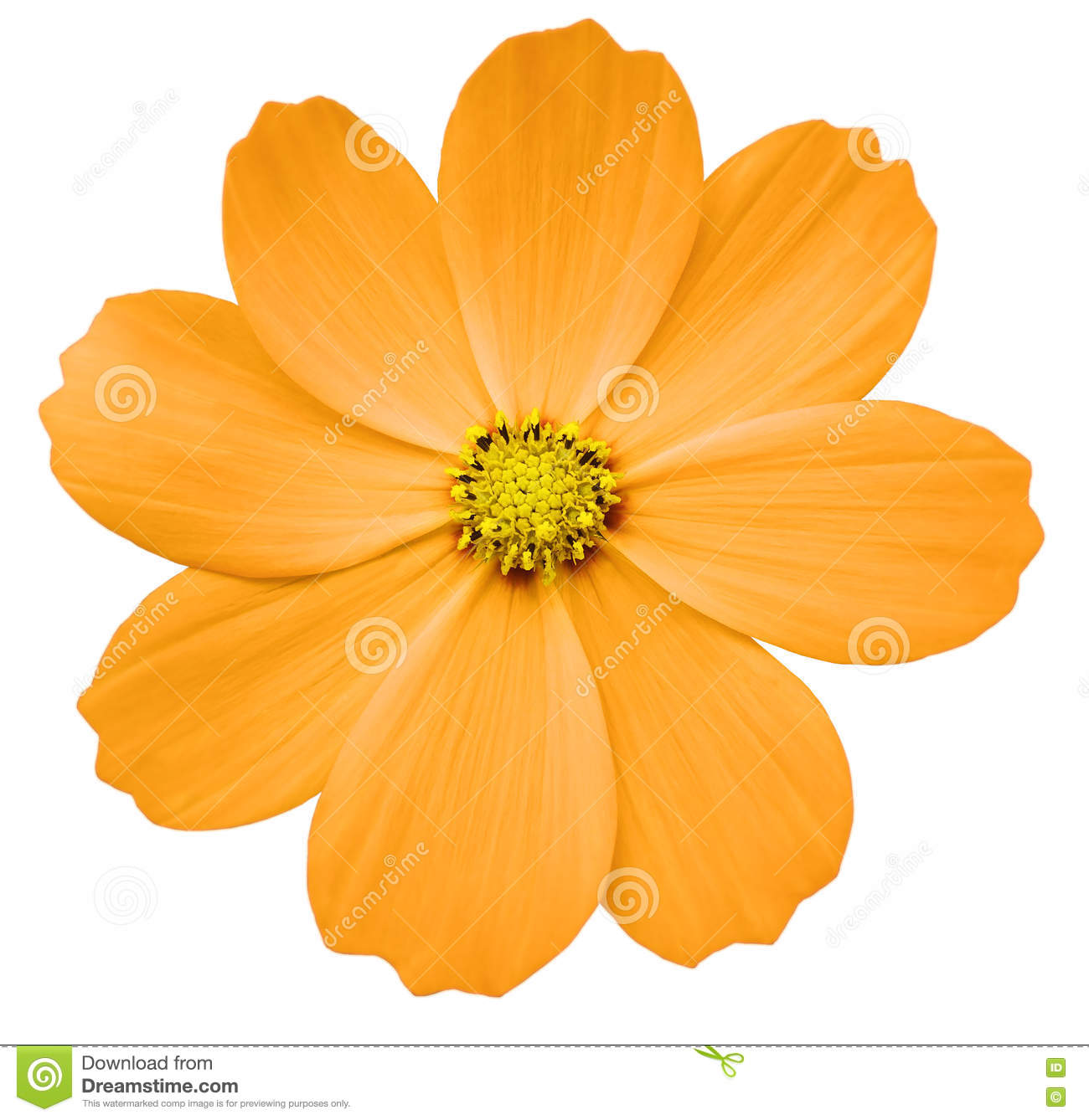 Orange Flower Primula White Isolated Background With Clipping Path