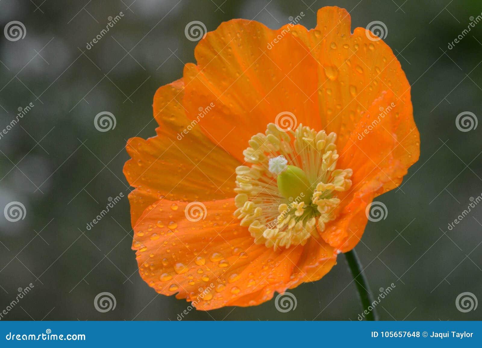 An orange flower after a rain shower