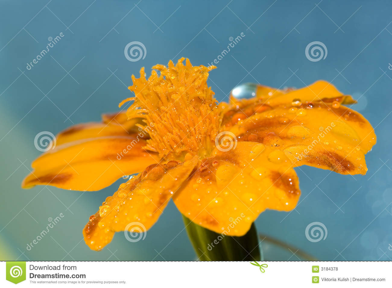 Orange Flower With Water Drop Royalty Free Stock s Image