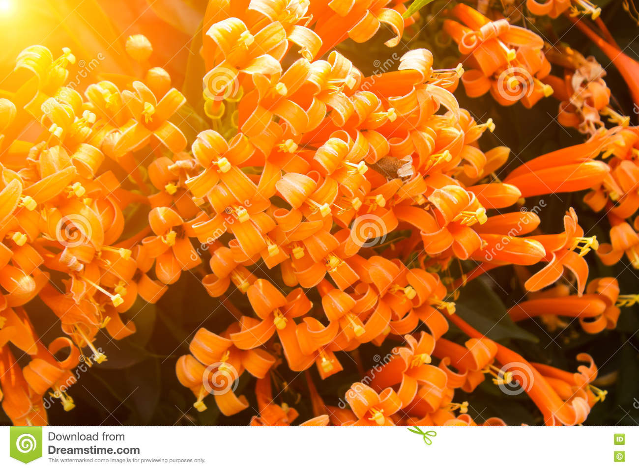 Orange flower on white backgroundllow spring flowers on the t download comp mightylinksfo