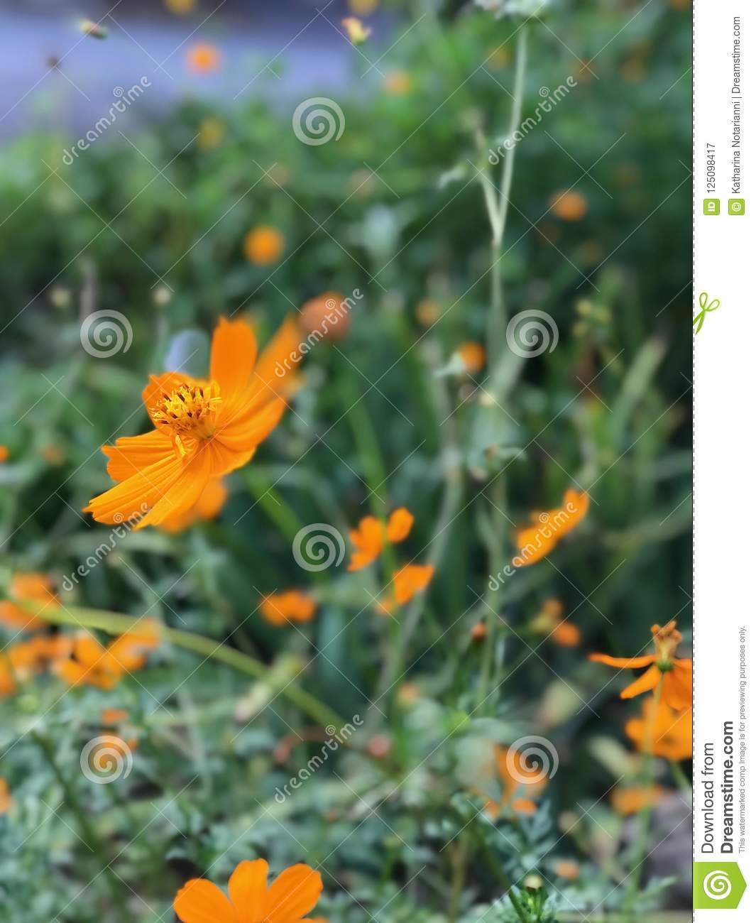 Orange Flower With Yellow And Black Bumble Bee Close Up Gathering
