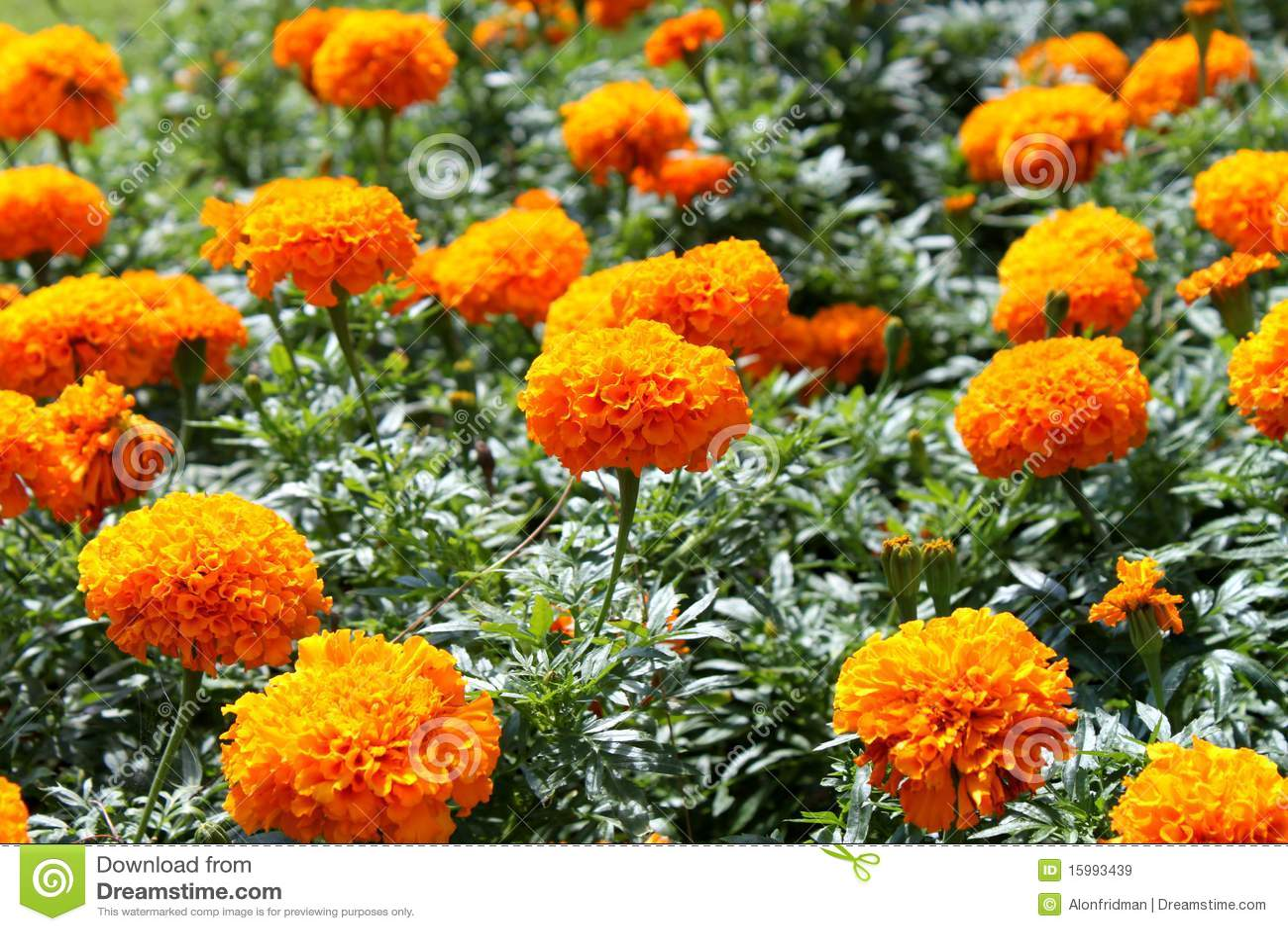 Fiori Arancioni Nomi.Orange Flowers Stock Image Image Of Nature Flowers 15993439