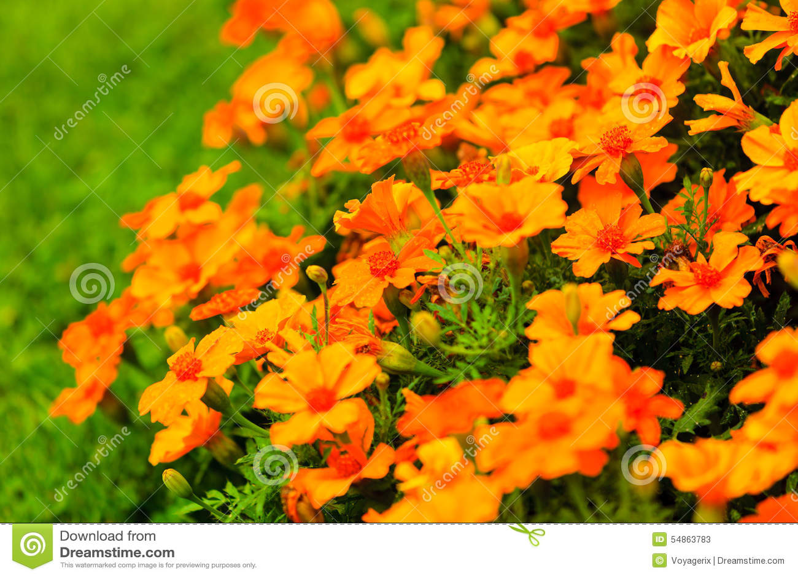 Orange Flowers In The Garden Spring Or Summer Background Stock