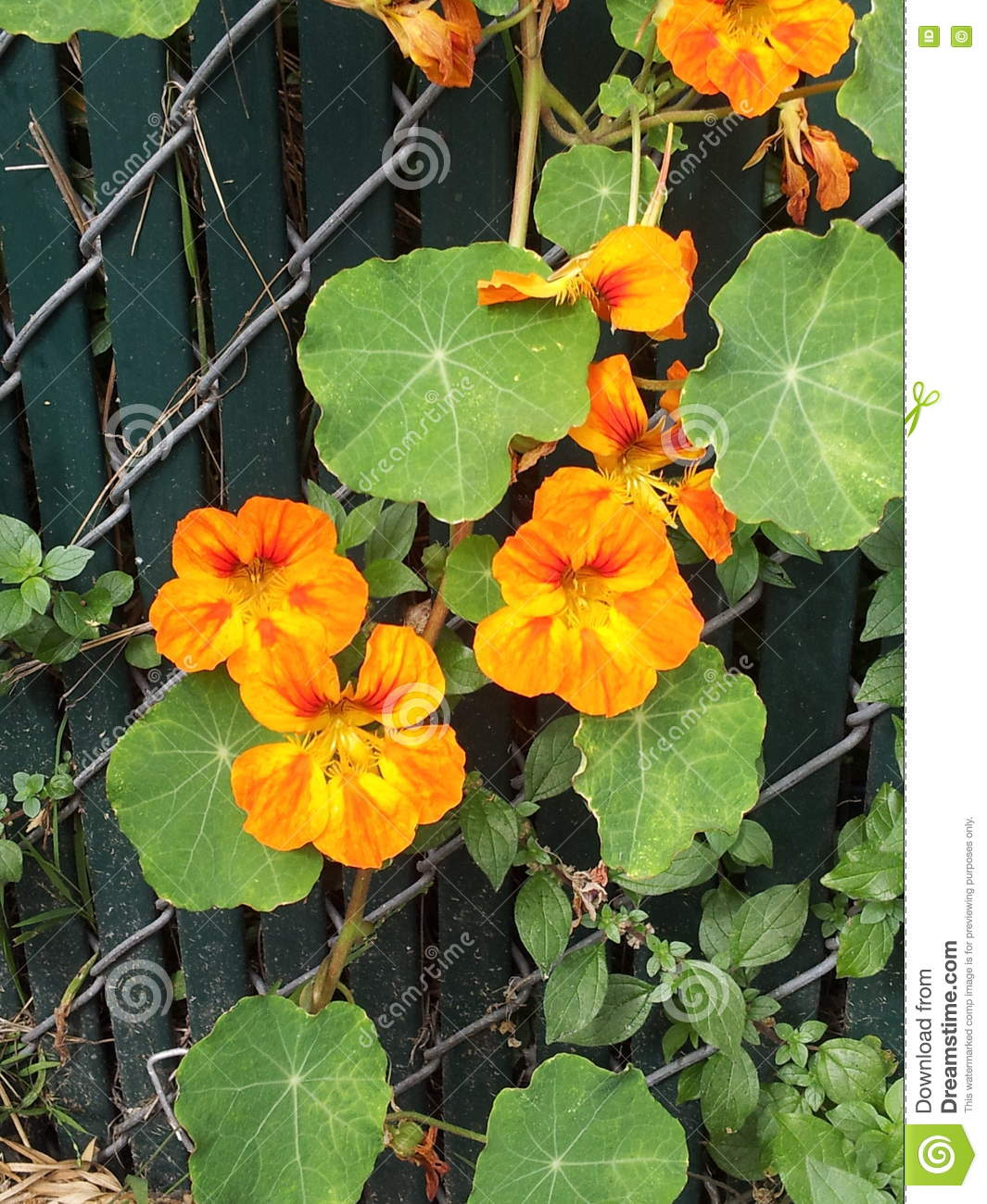 Orange flowers growing on a fence