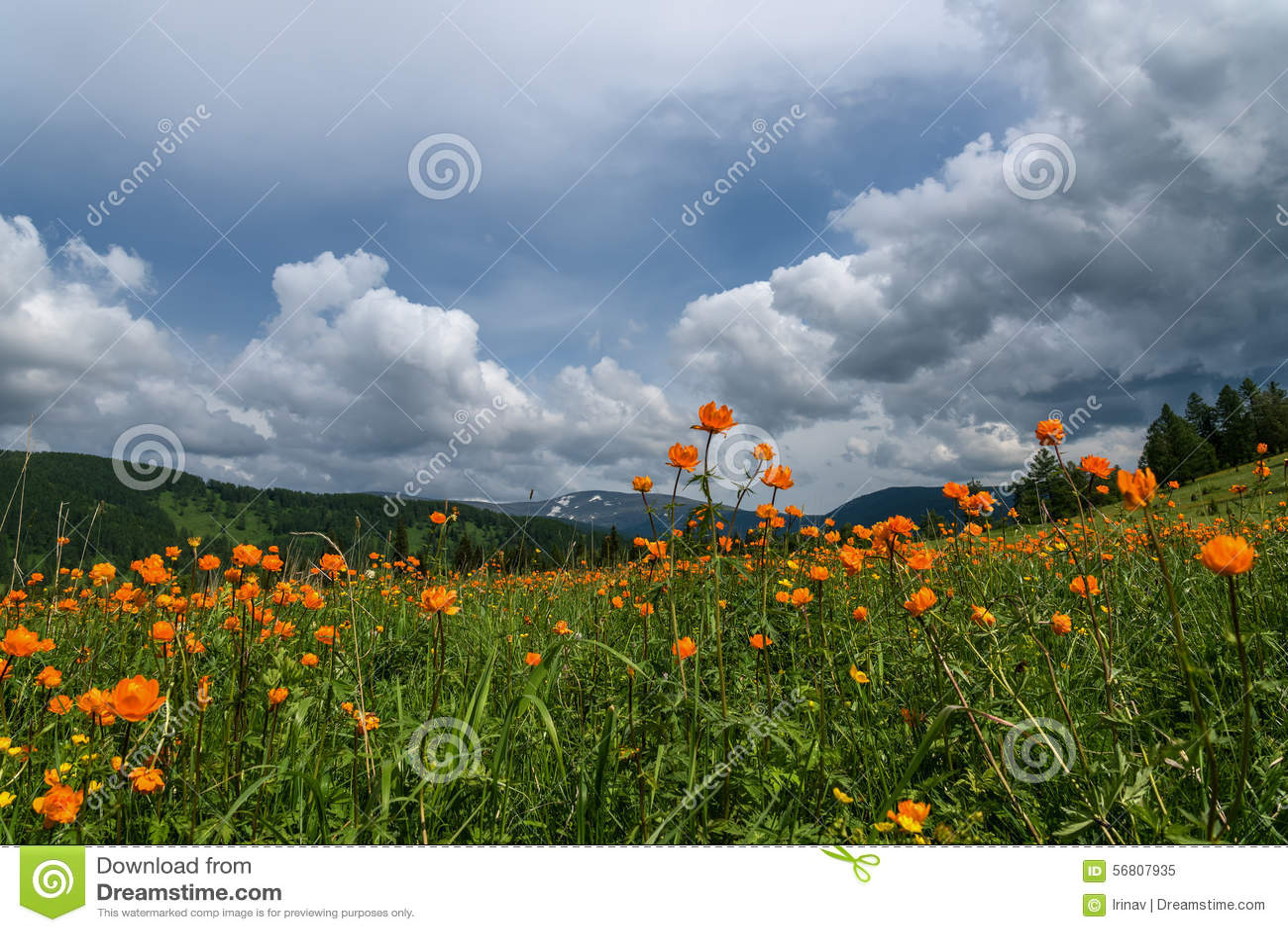 Orange Flowers Meadow Mountains Stock Image