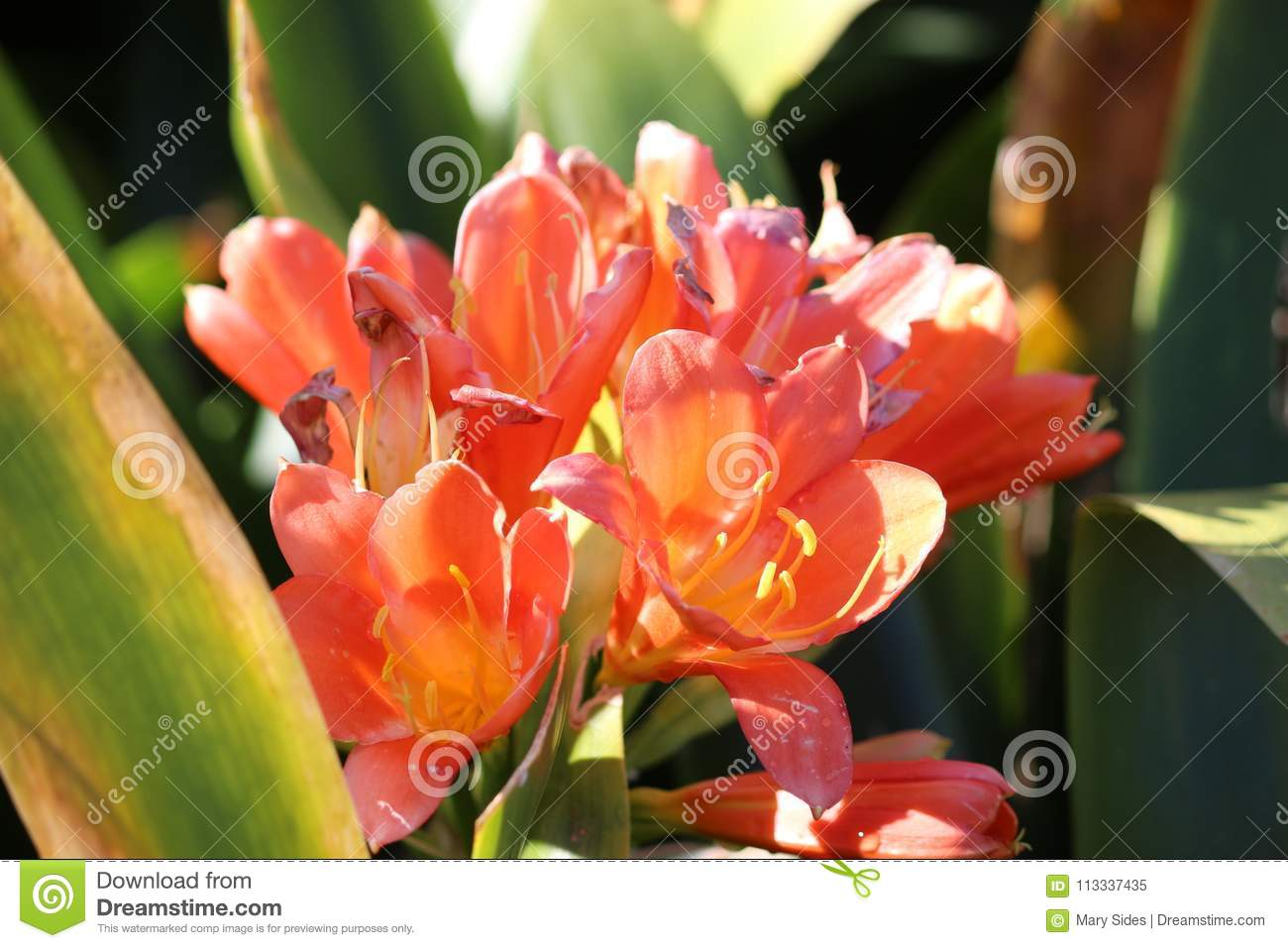 Orange Flowers Stock Image Image Of Pink Pretty Pink 113337435