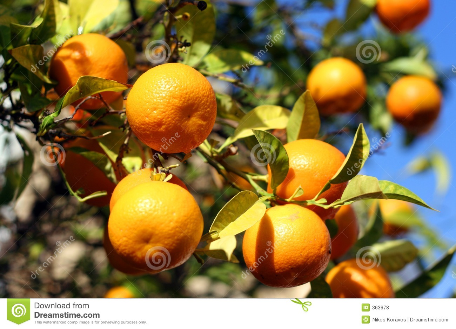 Orange Fruit stock photo. Image of trees, leaves, healthy ...