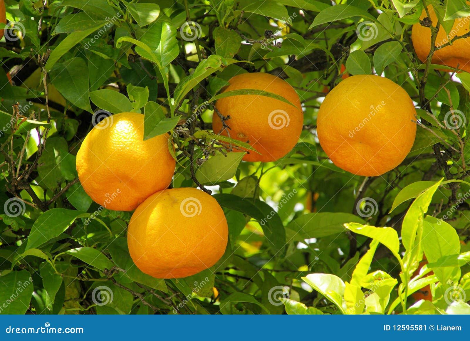 Orange fruit on tree stock image image 12595581