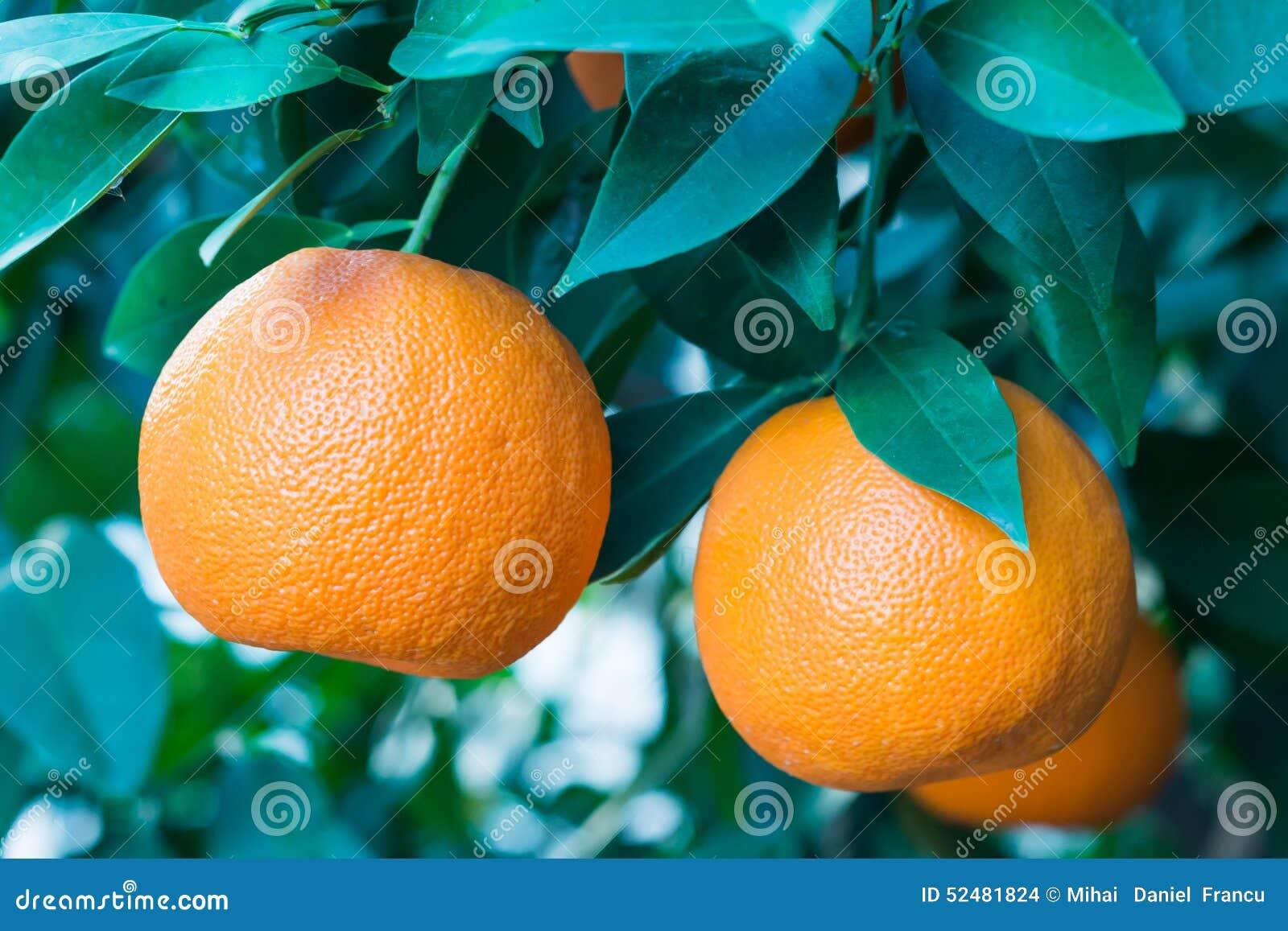 Orange frukt på en tree