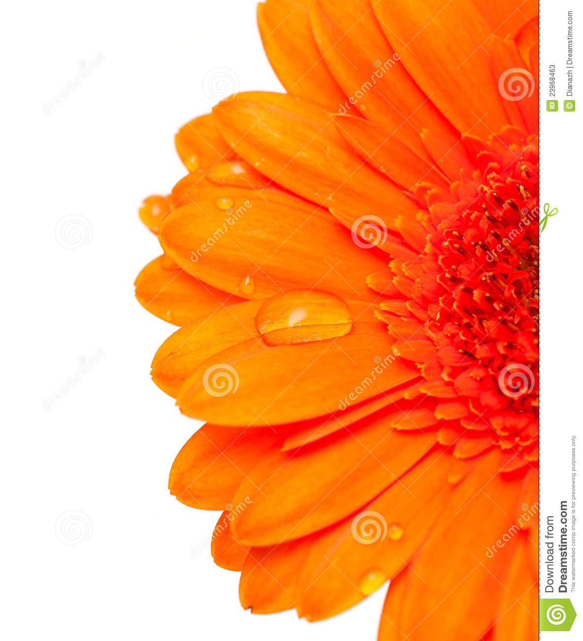 Orange Gerber Flower With Water Drops Stock s Image