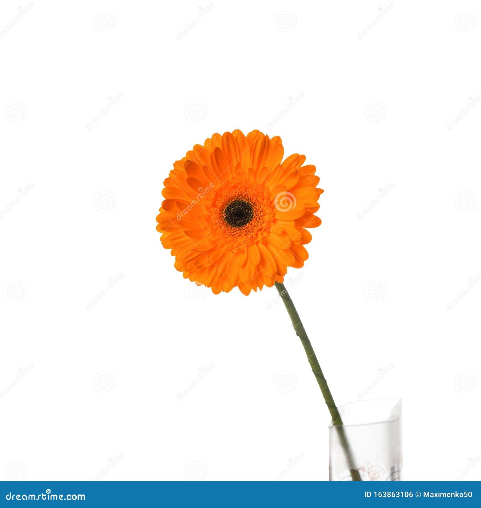 Orange Gerbera Flower In Vase, Isolated On White ...