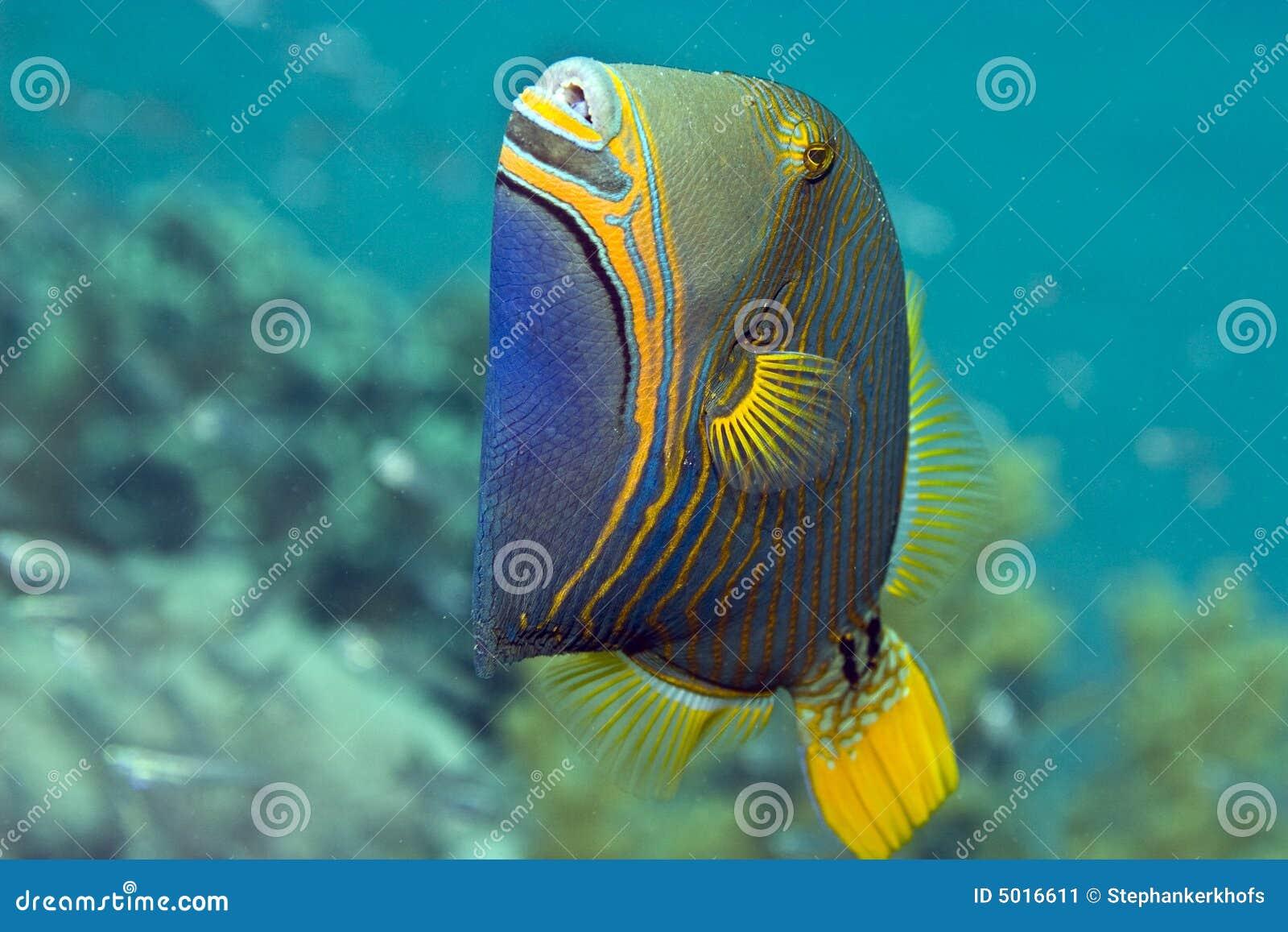 Orange-gestreifter Triggerfish (balistapus undulatus)
