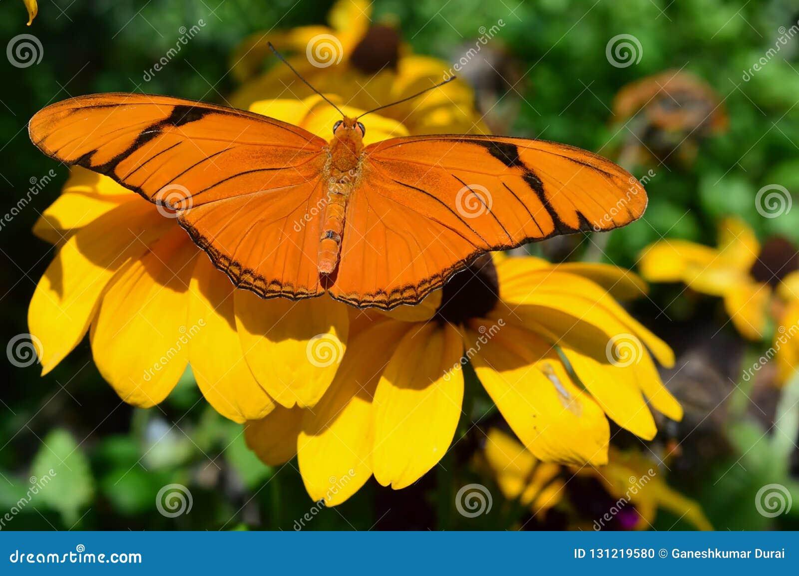 Orange Gulf Fritillary Butterfly