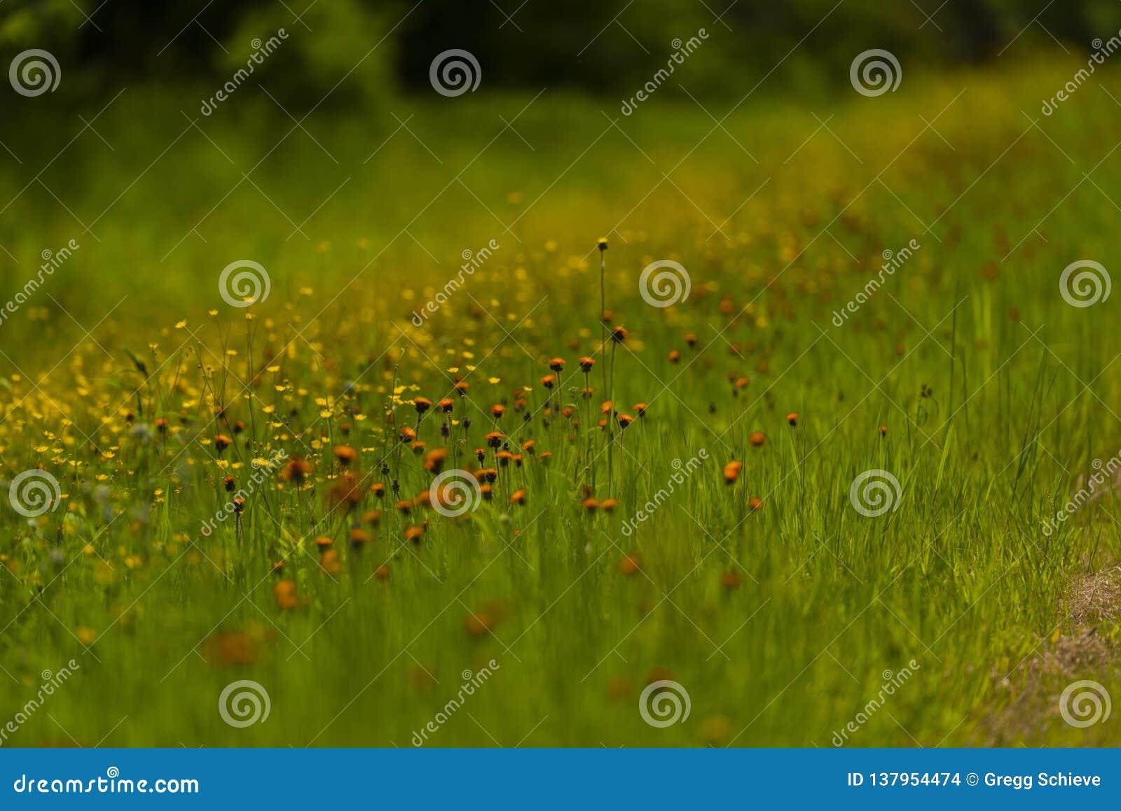 Orange hawkweed i nordliga Wisconsin