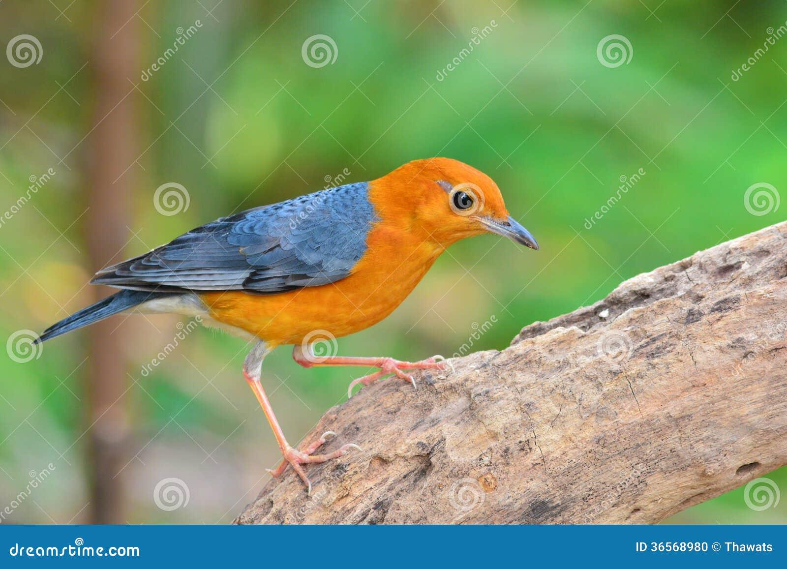 Orange headed thrush bird stock photo image of thrush 36568980 - Nature curiosity stressed out plants emit animal like signals ...