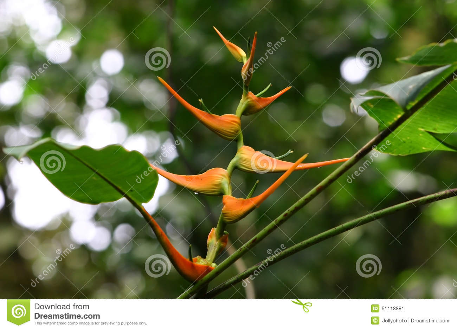 Orange Heliconia Stock Image Image Of Head Flower Bloom 51118881