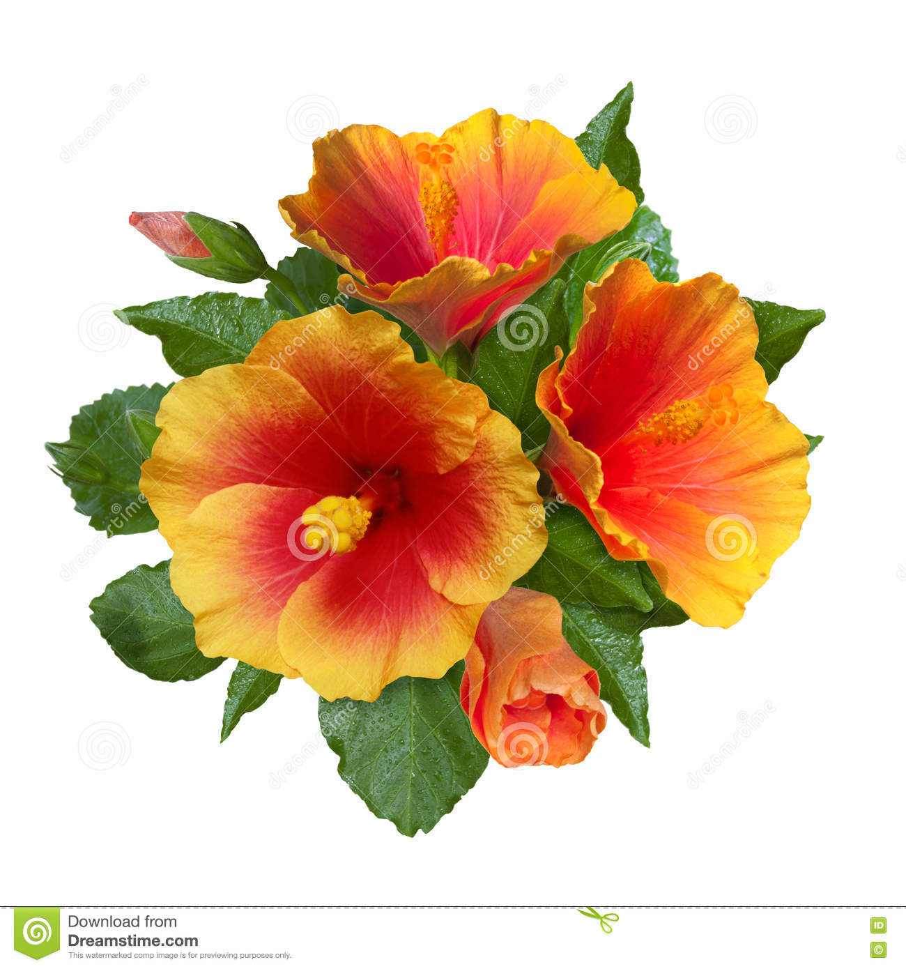 Orange hibiscus flowers and buds stock photo image of tender orange hibiscus flowers and buds izmirmasajfo