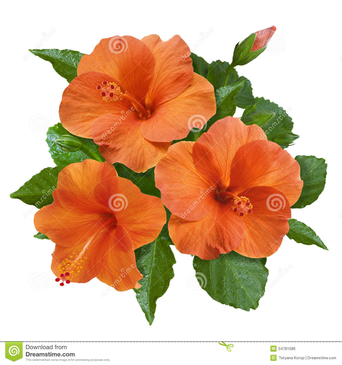 Orange hibiscus flowers and buds stock photo image of summer tree orange hibiscus flowers and buds izmirmasajfo