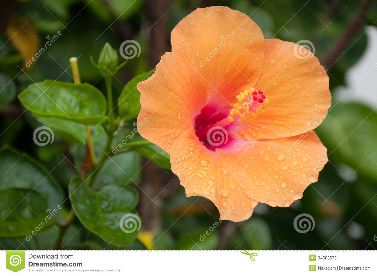 Orange hibiscus with leaves stock photo image 34588570 royalty free stock photo dhlflorist Image collections