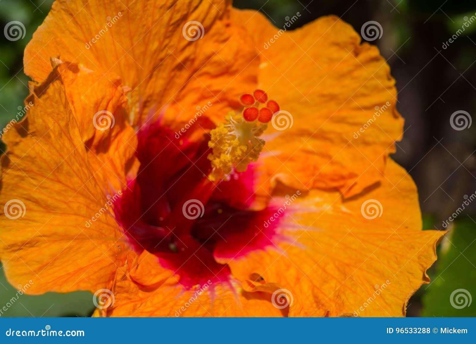 Orange Hibiscus Stock Photo Image Of Panama Intense 96533288