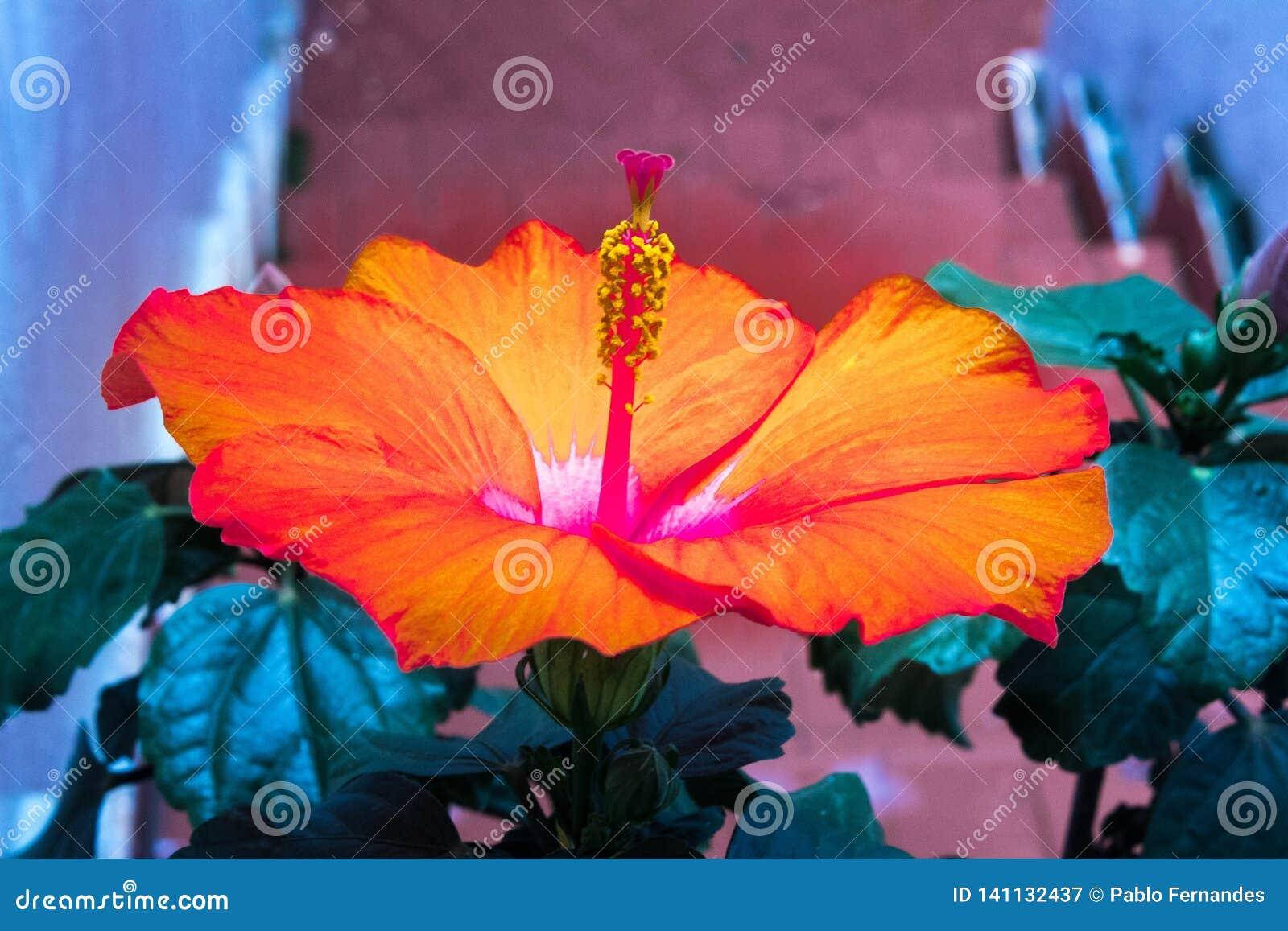 Orange hibiskusblomma i husträdgård