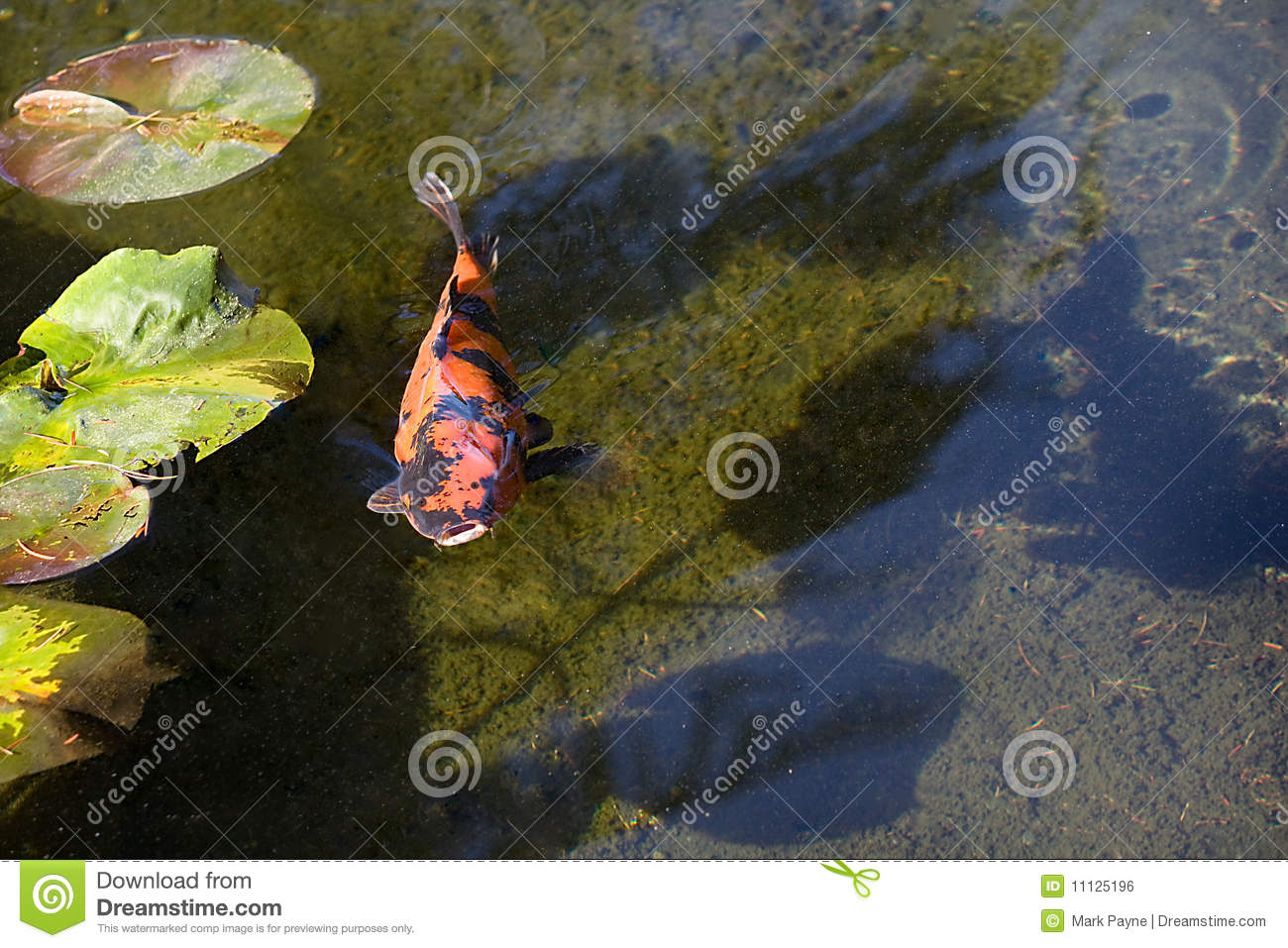 Orange japanese koi fish royalty free stock image image for Surface fish ponds