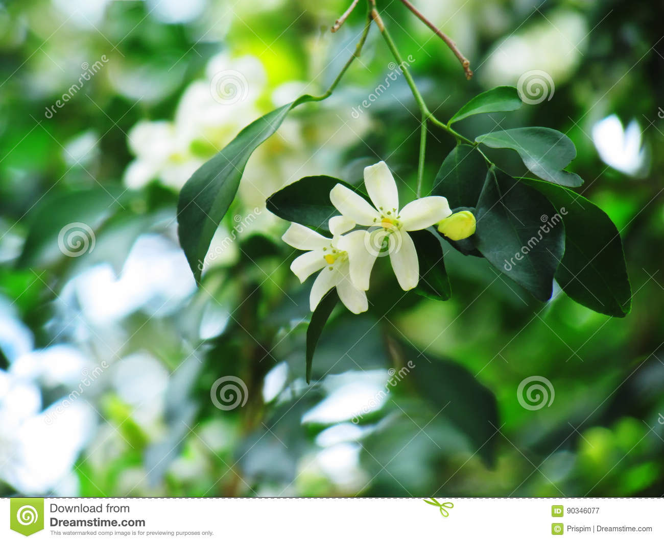 Orange Jasmine Flowers Blooming In The Garden Stock Image Image