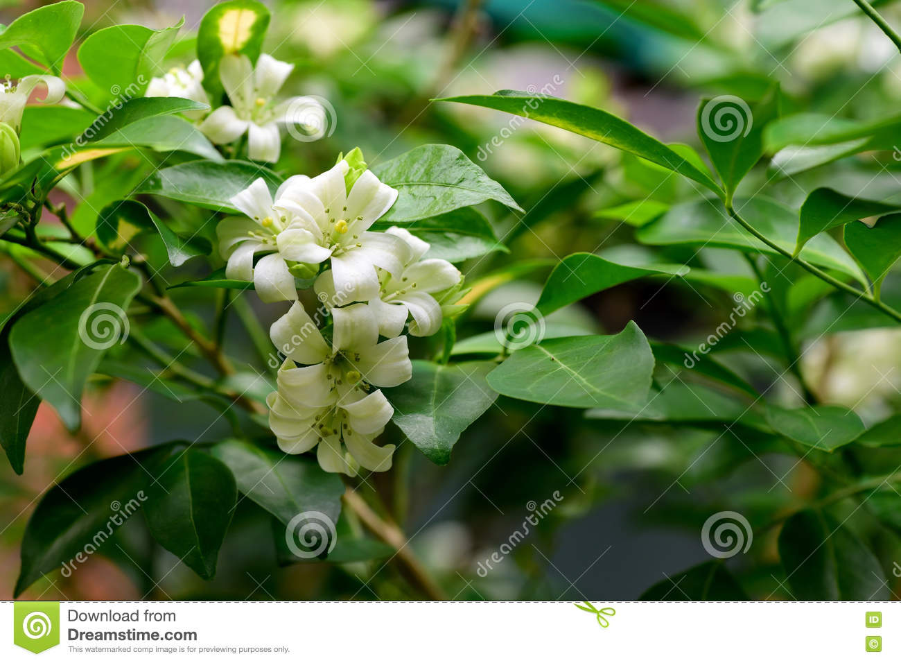 Orange Jasmine Stock Image Image Of Gardening Tropical 77028911