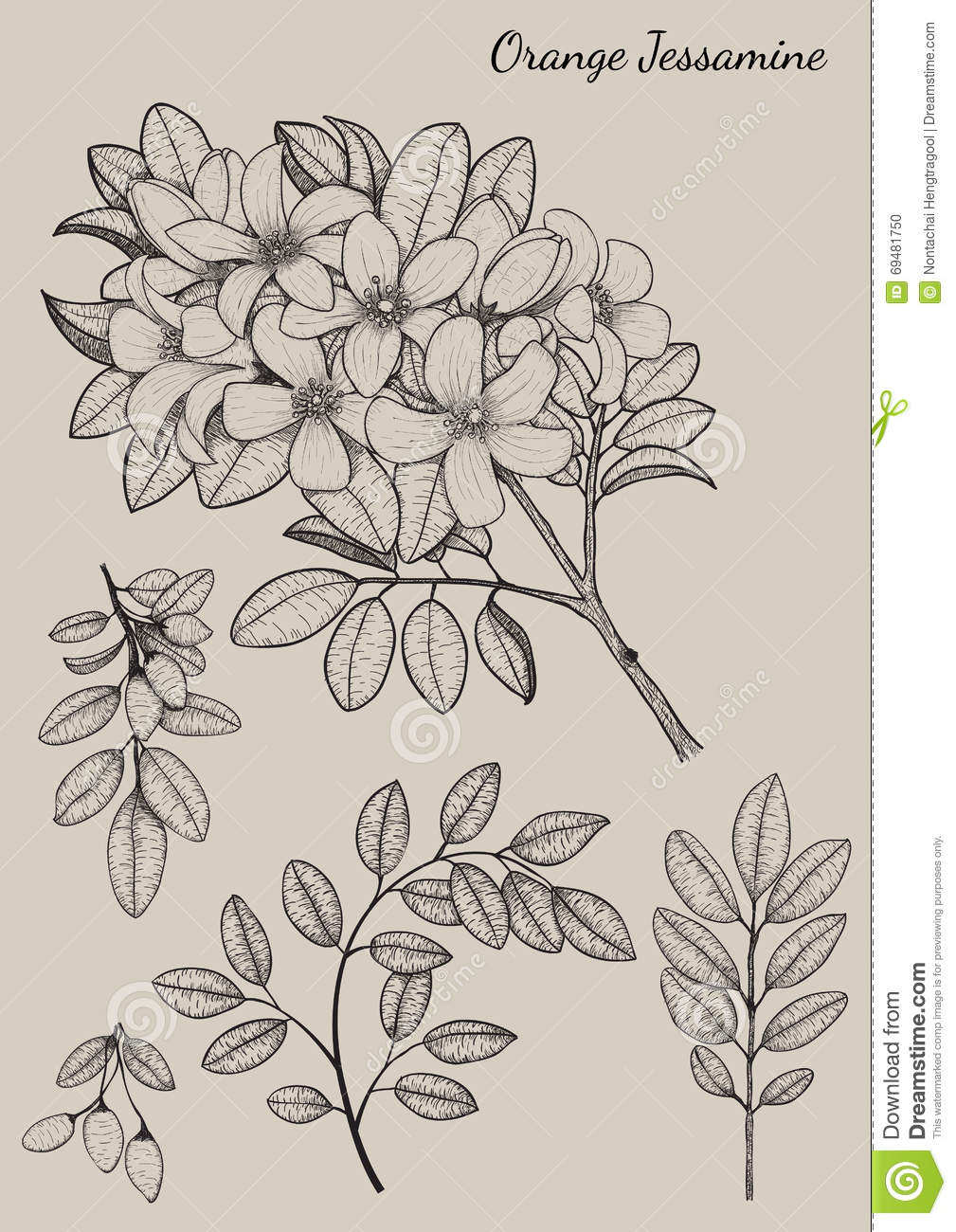 orange jessamine flower stock vector illustration of bloom 69481750