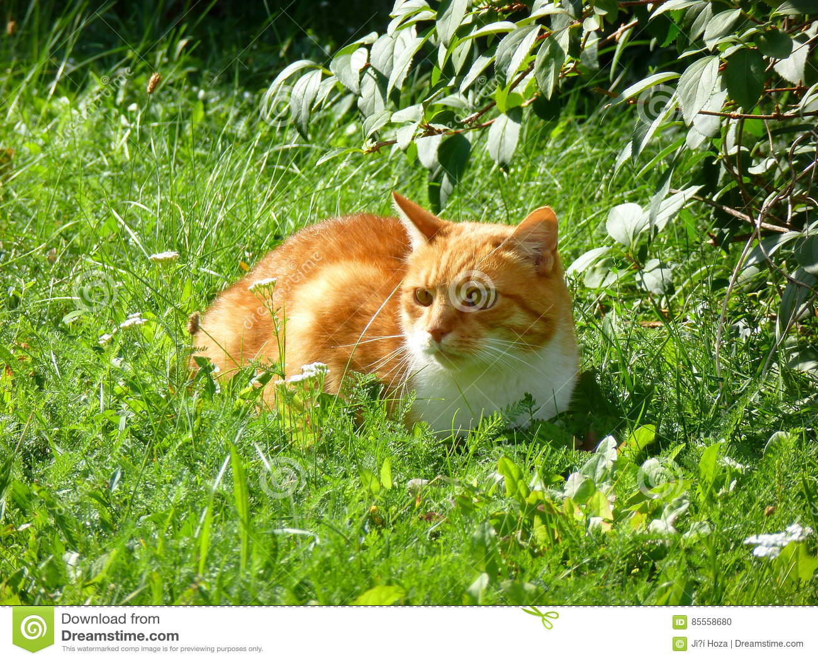 Orange Katze im Gras