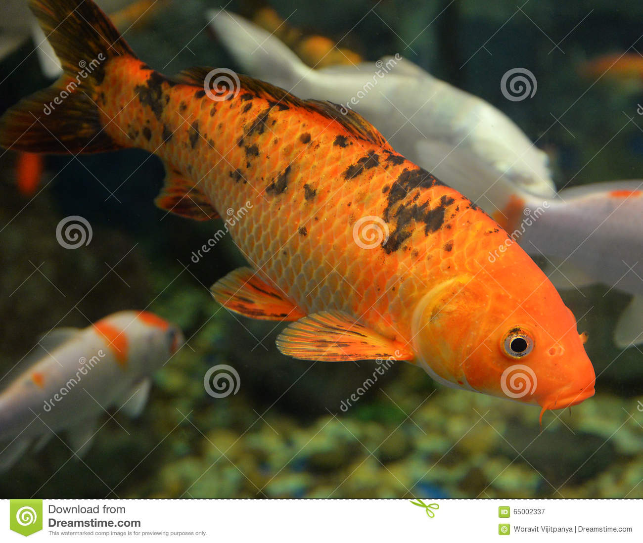 Orange koi carp stock photo image 65002337 for Orange koi carp