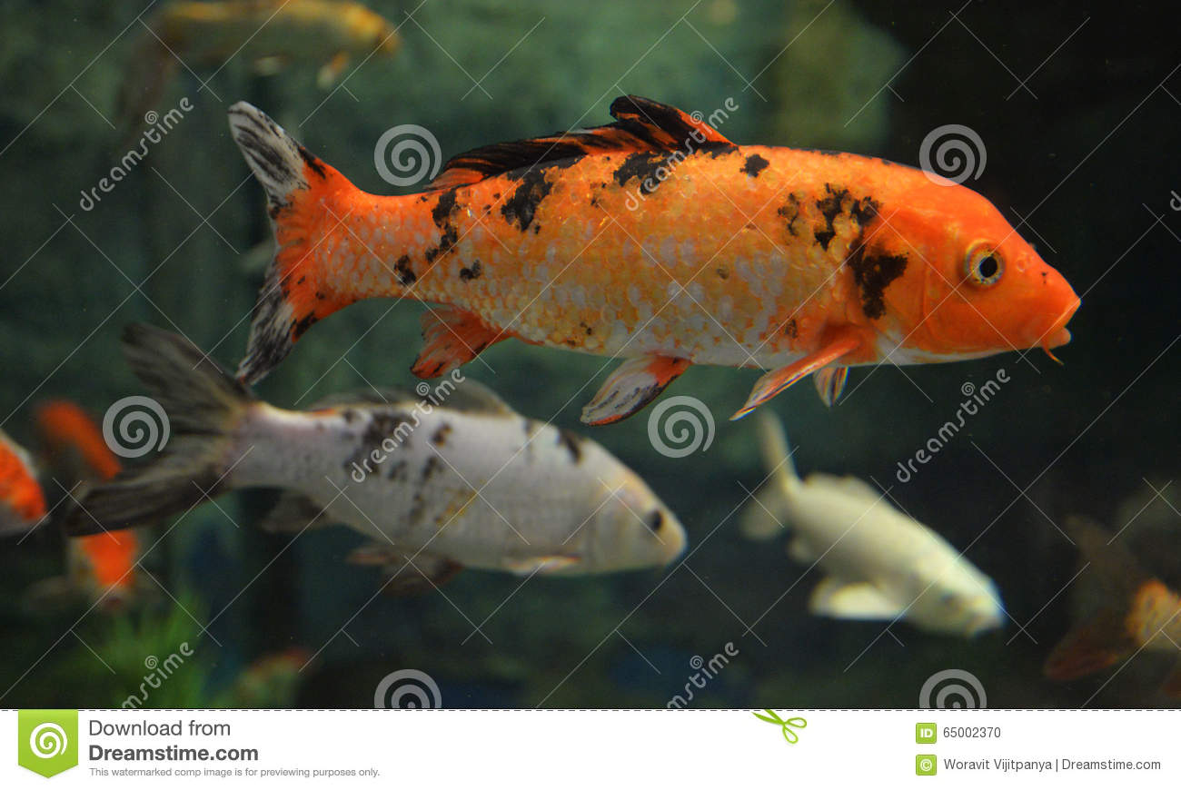 Orange koi carp stock photo image 65002370 for Carp in a fish tank