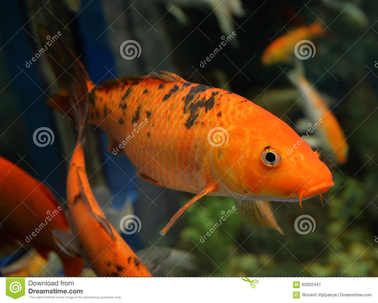 Orange koi carp stock photo image 65002441 for Carp in a fish tank