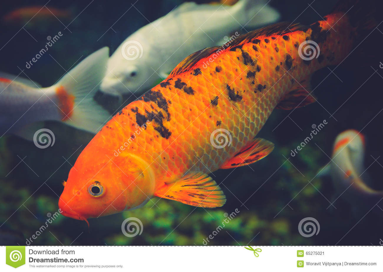 Orange koi carp stock image image of asian nature for Orange coy fish