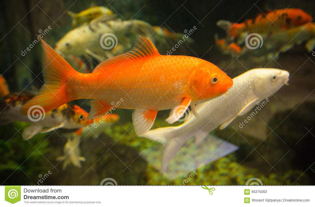 Image gallery orange carp for Carp in a fish tank