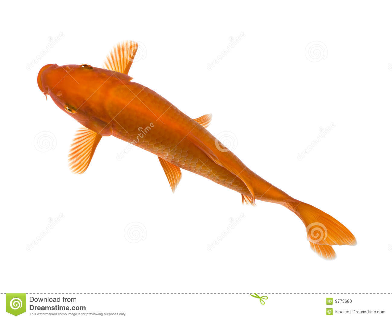 Orange koi cyprinus carpio stock photo image 9773680 for Orange koi carp
