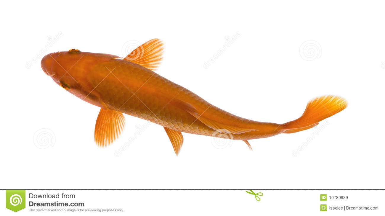 Orange koi fish cyprinus carpio studio shot stock image for Orange koi carp