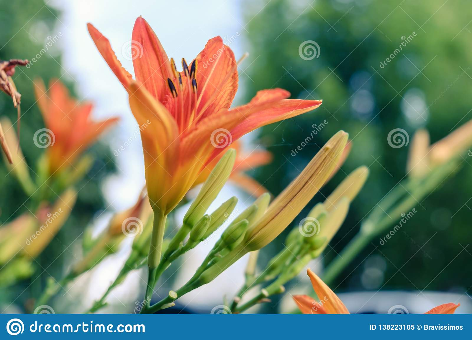 621f0ffeee762 Orange Lilly Background Beautiful Bloom. Nature Holiday Stock Image ...