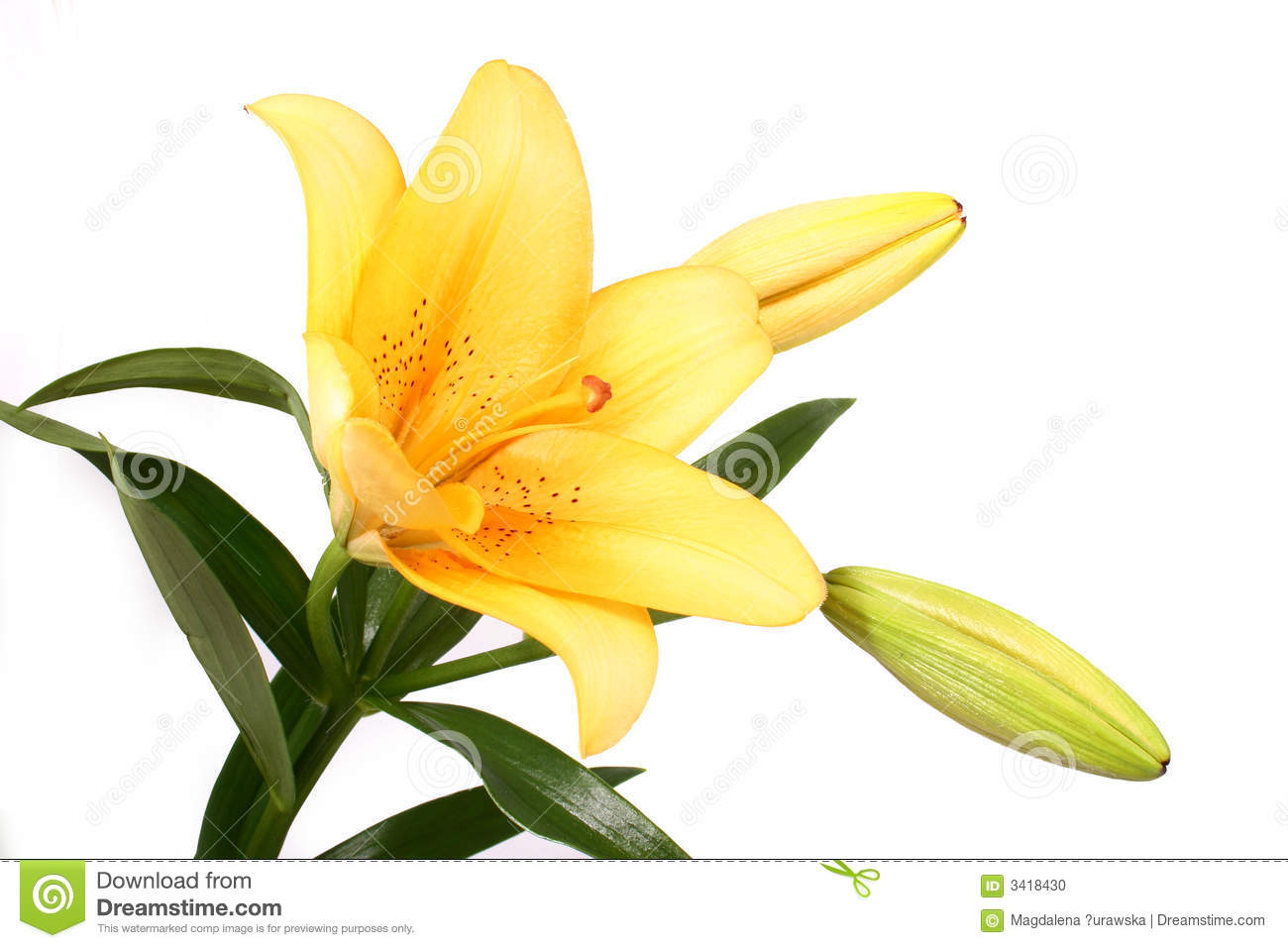 5bdeadde34a7c Orange Lilly Flower On White B Stock Photo - Image of colored ...